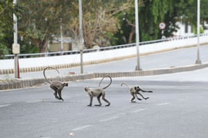 Grey langurs run along a deserted road during lockdown in Ahmedabad, India, on 19 April.