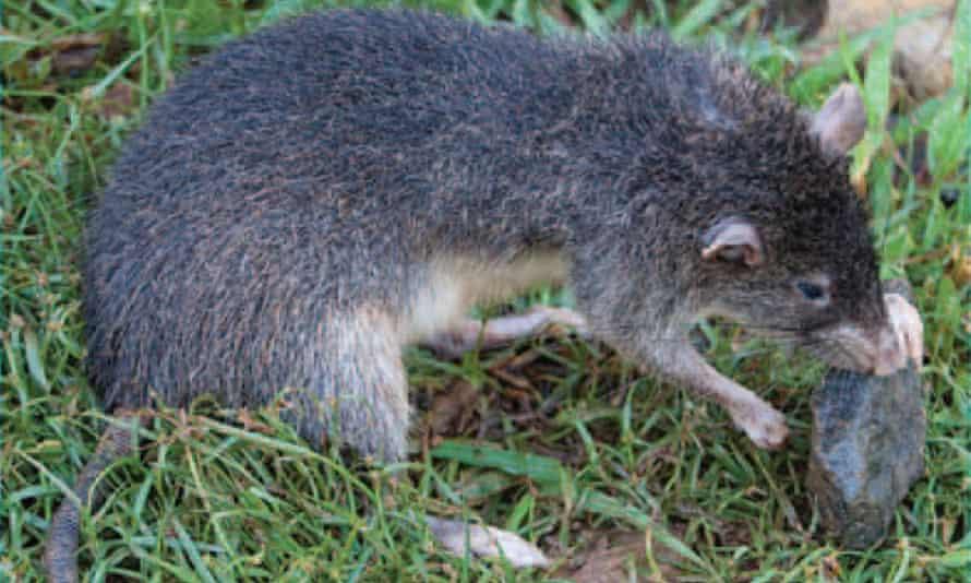 Rattus detentus