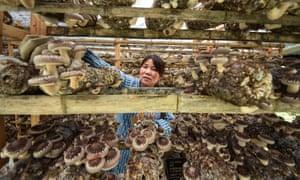 A farmer checks mushrooms at a farm in Guizhou province, south-west China.