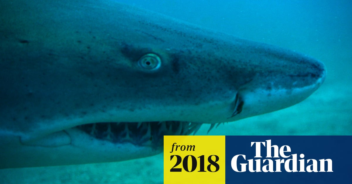 Shark numbers decline by up to 90% in five decades off Queensland coast