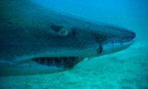 Shark numbers decline by up to 90% in five decades off