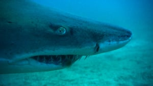 A sand tiger shark reveals sharp teeth, North Carolina, USA.