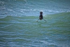 A rockhopper penguin porpoising through waves in the Falkland Islands