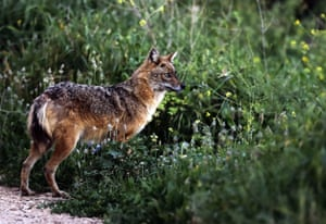 A golden jackal in a field in the village of Kfifane, north of Beirut, Lebanon
