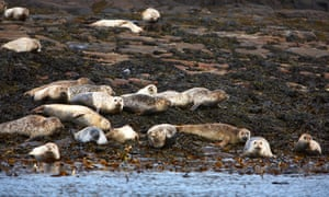Seals gathered on a Skye shore.
