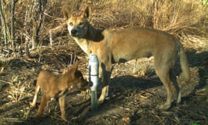 Female dingo and pup recorded by a camera at one of the study sites in the Top End of the Northern Territory.