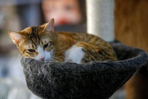A cat relaxes at the cafe. Customers are advised not to hold them or wake them up