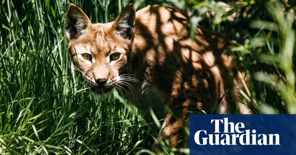 Rewilding: should we bring the lynx back to Britain?
