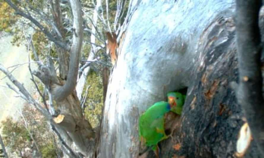 Australia's swift parrot has been put under more stress since logging was permitting in key breeding grounds in Tasmania, says conservation group Environment Tasmania.