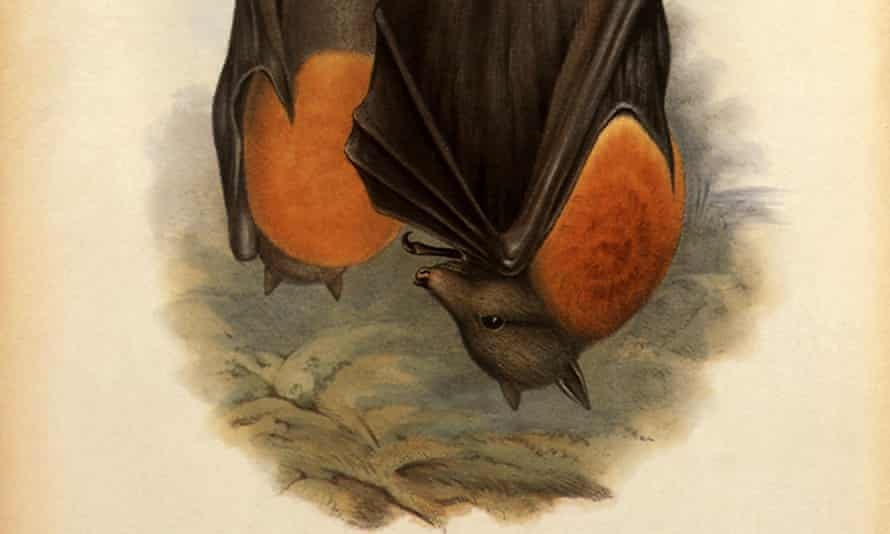 One of the ways the grey-headed flying fox drinks is to skim the surface of a river or pond, so that its fur gets wet. It then licks up the droplets.