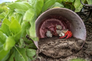 A hermit crab sheltering in a plastic bucket on a beach on Henderson Island in the South Pacific