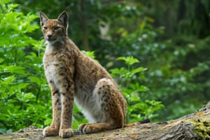 The lynx effect: are sheep farmers right to fear for their