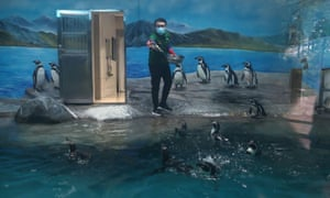 Employee wearing a face mask feeds penguins at the Wuhan Zoo which has been closed following an outbreak of the novel coronavirus