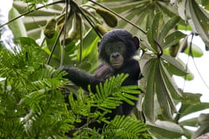 A young bonobo in the forest canopy near Nkala village, Malebo, Democratic Republic of the Congo