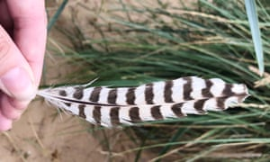 A curlew feather
