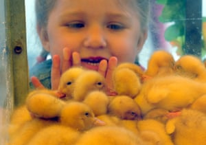 Shchomyslitsa, Belarus A girl looks at ducklings at the Belagro international agricultural exhibition
