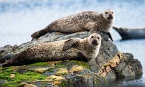 Common seals resting on rocks in the Shetland Islands, Scotland