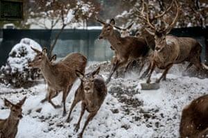 Deer run in the snow in Bursa, Turkey