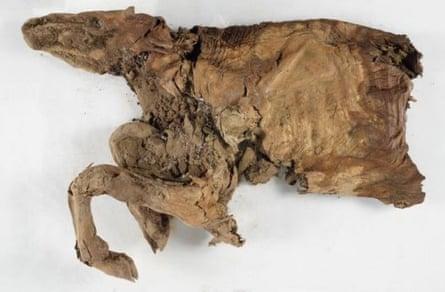 Mummified remains of an ancient caribou.