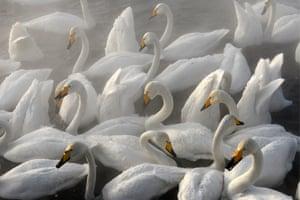 Whooper swans spending the winter on the Lebedinoye lake in Altai, Russia