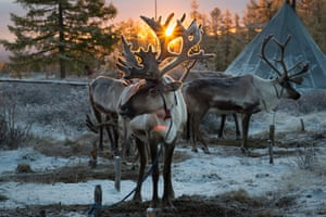 Reindeers outside the tents belonging to the nomadic tribe