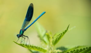 A damselfly pictured near Laatzen in Lower Saxony, Germany