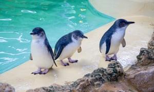 Three little blue penguins at Penguin Island.