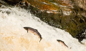 Salmon Leaping at Falls of Shin, Scotland.