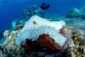 bleached anenome, Okinawa