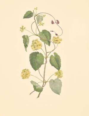 Stogmaphyllon Ciliatum (orchid vine, Malpighiaceae)