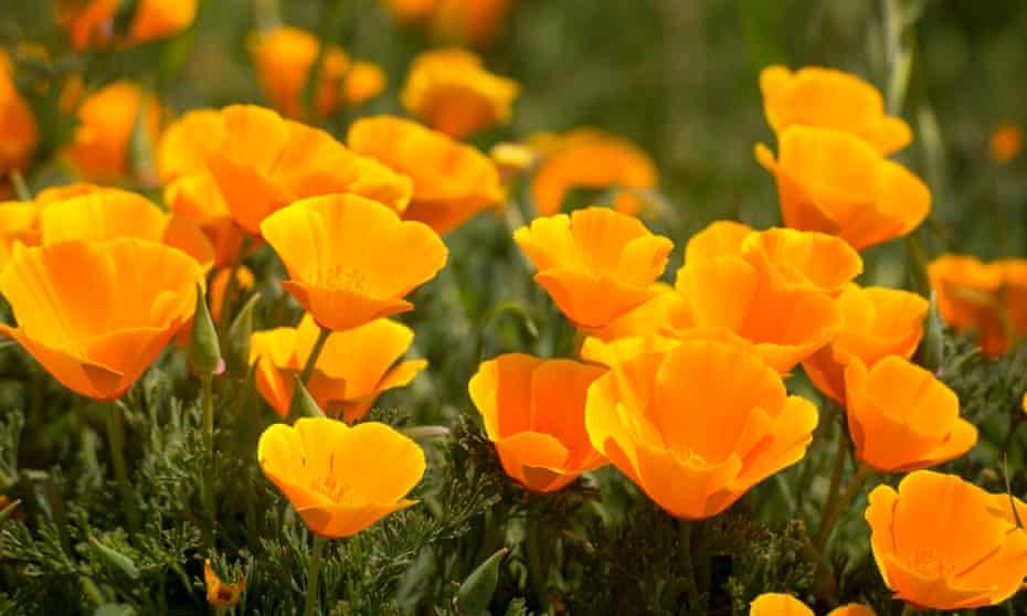 California poppies.
