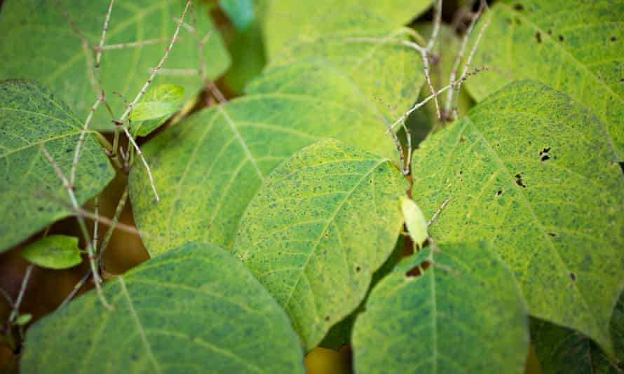 Japanese knotweed at Park Drive recreation trail