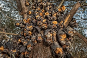A grey-headed flying fox colony photographed in December 2019 during an extreme heat stress event