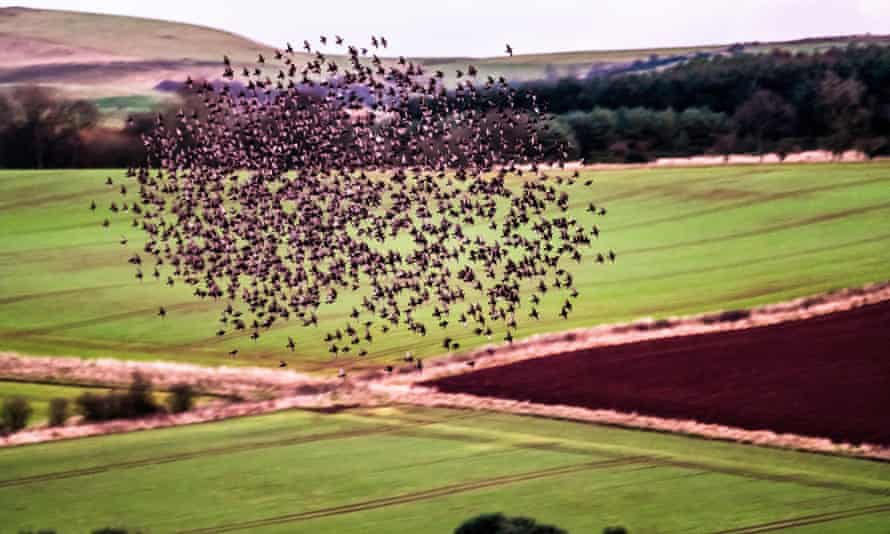 A flock of Starlings perform a murmuration prior to roosting above farmland