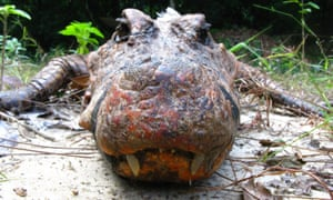 A cave crocodile showing off his orange-red mug.