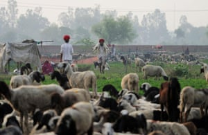 Lassa Ram 30, carries sheep through his herd at his family's camp in Sikri