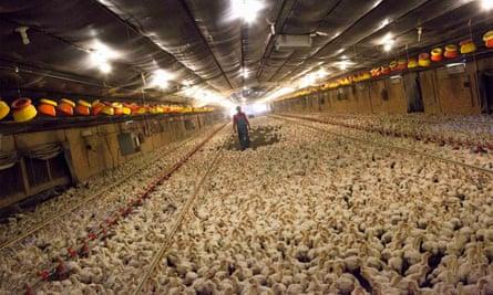 A chicken farm in Fairmont, North Carolina.