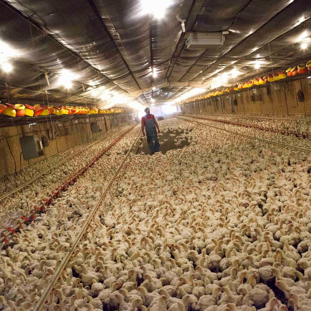Will The Worst Bird Flu Outbreak In Us History Finally Make Us Reconsider Factory Farming Chicken Vital Signs The Guardian