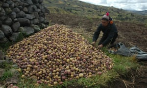 A worker picking potatoes high in the Andes.