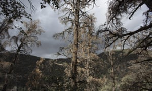 Dead and dying trees are seen in a forest stressed by historic drought conditions in Los Padres National Forest on May 7, 2015 near Frazier Park, California
