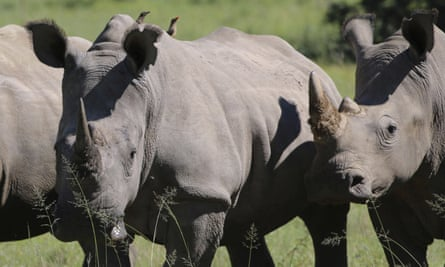 Rhinos in South Africa, where 1,054 of the animals were killed by poachers in 2016