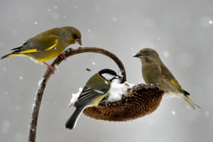 Great tit and European greenfinches
