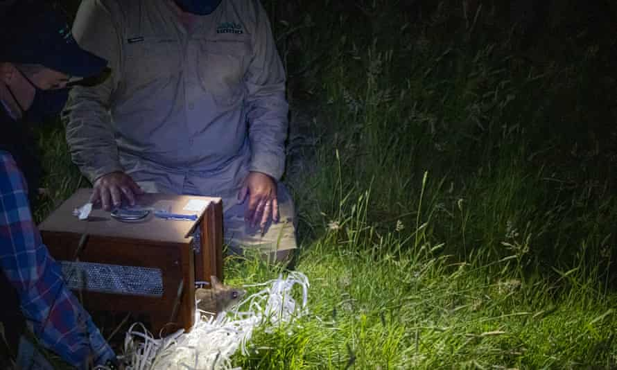Eastern barred bandicoot released.