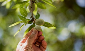 An almond farm in California. The US farming community is waiting uneasily for Donald Trump to pick an agriculture secretary who will champion their causes.