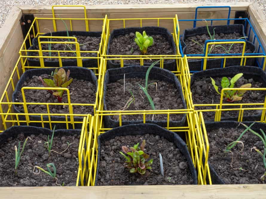 Raised beds of leeds and rainbow chard in the wellbeing garden