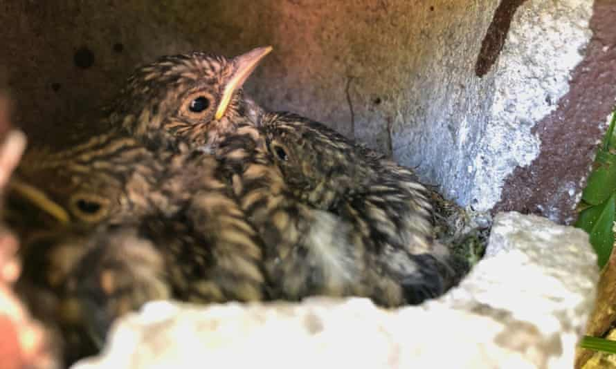 young spotted flycatchers