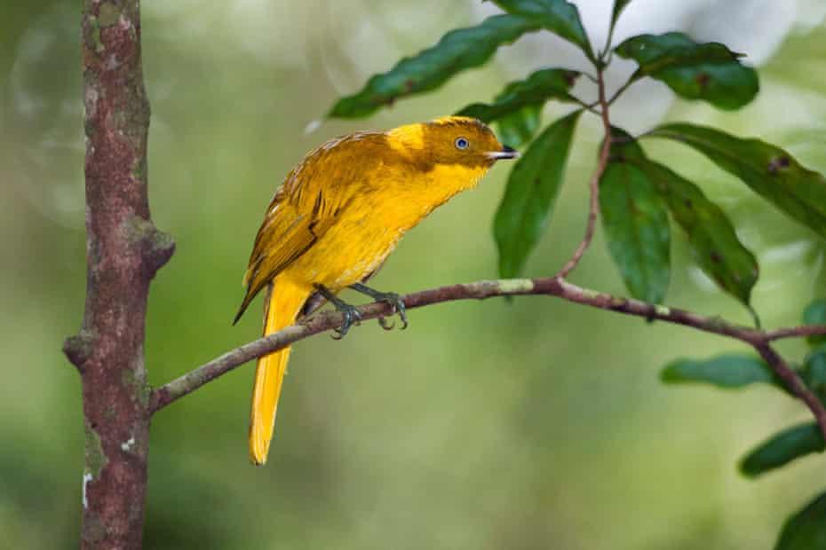 A Newton's golden bowerbird in Queensland's Atherton Tablelands.