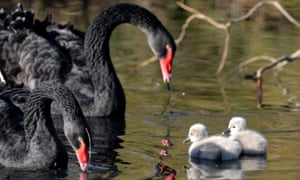 Black swans with their cygnets in Britain.