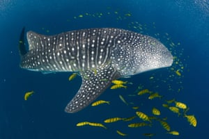 Whale shark tourism is estimated to be worth more than $100m each year around the world.
