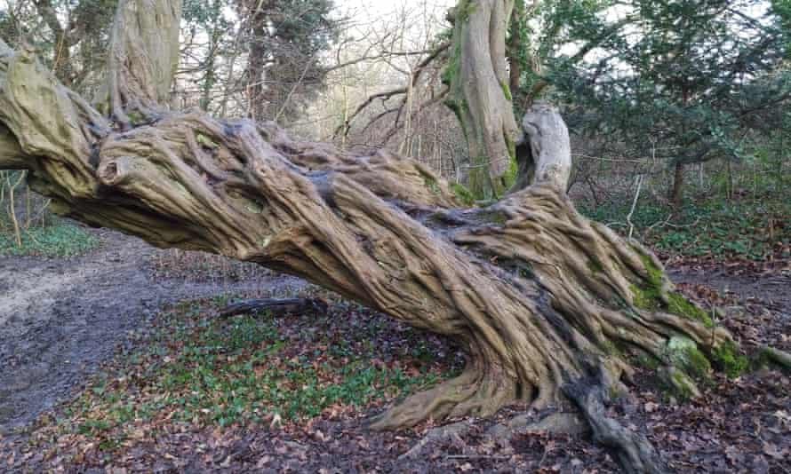 A twisted hornbeam trunk in Epping Forest.